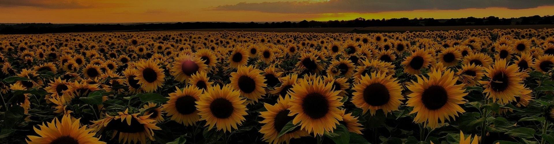 Helga pleven sunflowers