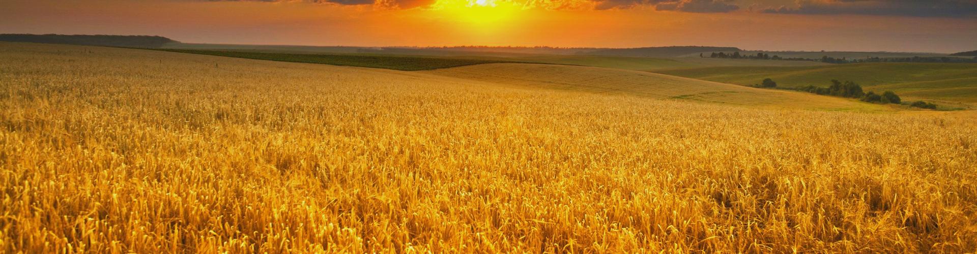 Helga Pleven Wheat