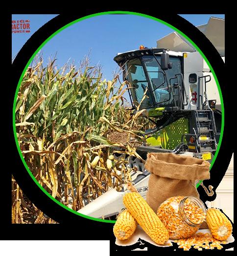 Helga harvesting corn